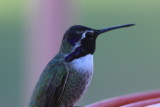 Costa's Hummingbird - Scroll down