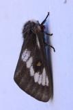 Juno Buck Moth (Hemileuca juno)