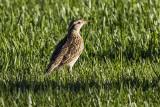 Western Meadow Lark