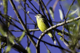 African Yellow-fronted Canary