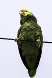 Yellow-headed Parrot