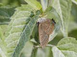 EDWARDS HAIRSTREAK (Satyrium edwardsii)