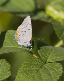 ACADIAN HAIRSTREAK (Satyrium acadia)