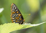 Baltimore Checkerspot _MG_3112.jpg