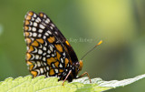 Baltimore Checkerspot _MG_3121.jpg