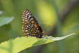 Baltimore Checkerspot _MG_3080.jpg