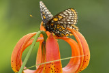 Baltimore Checkerspot _MG_2899.jpg