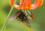 Baltimore Checkerspot _MG_2907.jpg