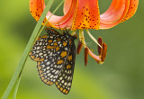 Baltimore Checkerspot _MG_2908.jpg
