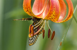 Baltimore Checkerspot _MG_2912.jpg