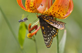 Baltimore Checkerspot _MG_2993.jpg