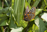 Baltimore Checkerspot _MG_3065.jpg
