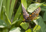Baltimore Checkerspot _MG_3066.jpg