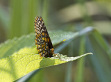 Baltimore Checkerspot _MG_3076.jpg