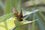 Baltimore Checkerspot _MG_3078.jpg