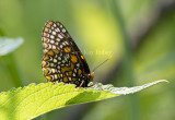 Baltimore Checkerspot _MG_3082.jpg