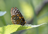 Baltimore Checkerspot _MG_3084.jpg