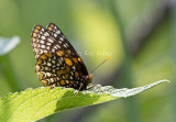 Baltimore Checkerspot _MG_3087.jpg
