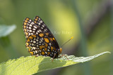 Baltimore Checkerspot _MG_3088.jpg