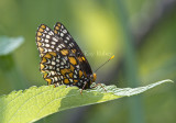 Baltimore Checkerspot _MG_3091.jpg