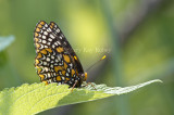 Baltimore Checkerspot _MG_3099.jpg