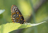Baltimore Checkerspot _MG_3101.jpg