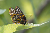 Baltimore Checkerspot _MG_3103.jpg
