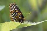Baltimore Checkerspot _MG_3108.jpg