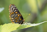 Baltimore Checkerspot _MG_3109.jpg