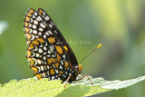 Baltimore Checkerspot _MG_3113.jpg