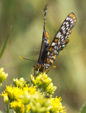 Baltimore Checkerspot _MG_8193.jpg