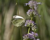 Cabbage White _MG_0895.jpg