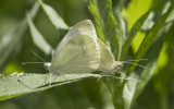 Cabbage White mating _MG_1015.jpg