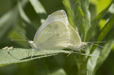 Cabbage White mating _MG_1017.jpg