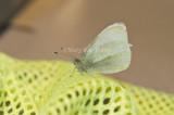 Cabbage White _MG_7926.jpg