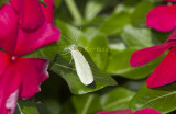 Cabbage White _MG_8504.jpg
