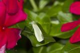Cabbage White _MG_8505.jpg