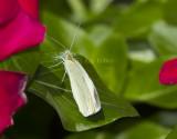 Cabbage White _MG_8506.jpg