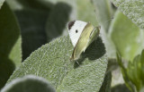 Cabbage Whites mating _MG_0247.jpg