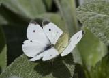Cabbage Whites mating _MG_0253.jpg
