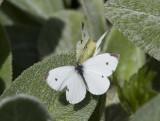 Cabbage Whites mating _MG_0259.jpg