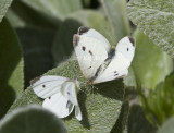 Cabbage Whites menage a trois _MG_0257.jpg