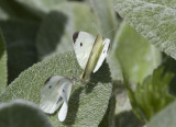 Cabbage Whites menage a trois _MG_0262.jpg