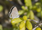 _ Ceraunus Blue female _MG_9811.jpg