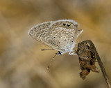 Ceraunus Blue _MG_1729.jpg