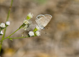 Ceraunus Blue _MG_1791.jpg