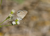 Ceraunus Blue _MG_1793.jpg