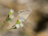 Ceraunus Blue _MG_1797.jpg