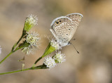 Ceraunus Blue _MG_1822.jpg