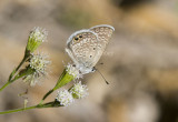 Ceraunus Blue _MG_1825.jpg